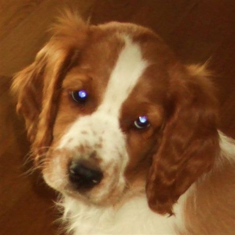 Springer spanielvalpen Billy